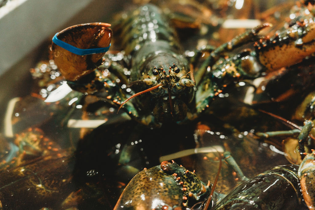 Live lobster, shipped fresh from Charlestown, MA